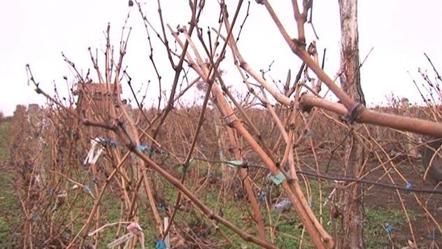 Zimsko orezivanje voćaka - © Danijela Jovanović / Agromedia