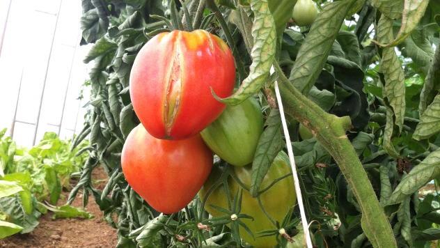 Uzgoj organskog paradajza - © Foto: Julijana Mijajlović