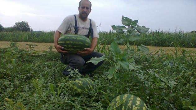 Organska proizvodnja lubenica © Foto: Danijela Jankov