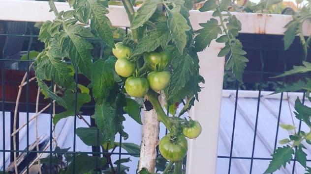 zasad paradajza