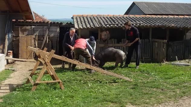 Priprema za svinjokolj - © Julijana Kuzmić