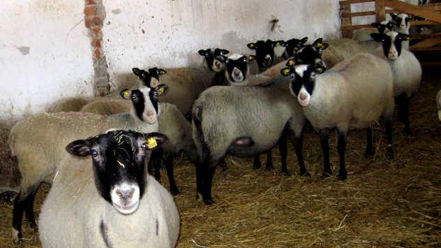 Romanovska ovca očekuje jagnjenje - foto: Biljana Nenković