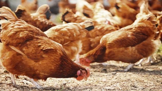 Zdrave kokoške - © IStock