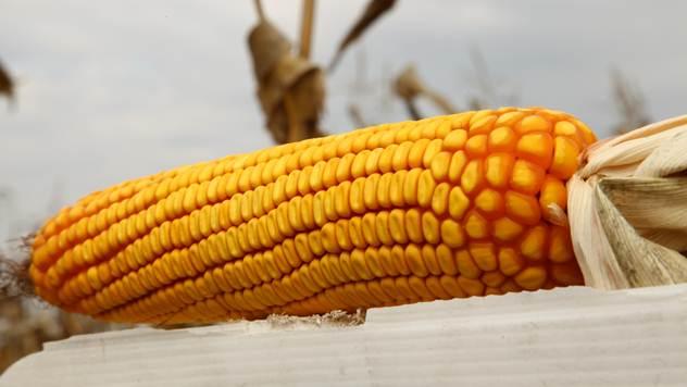 Hibrid kukuruza kompanije Pioneer - © Agromedia