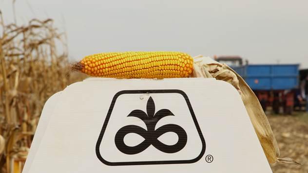 Hibridi kukuruza kompanije Pioneer - © Agromedia