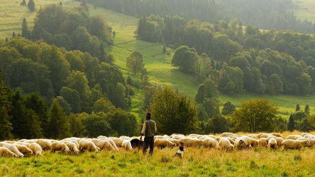 Ovce na ispaši - ©Pixabay