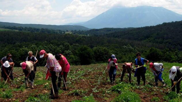 Radnici na poljima smilja © Foto: Biljana Nenković