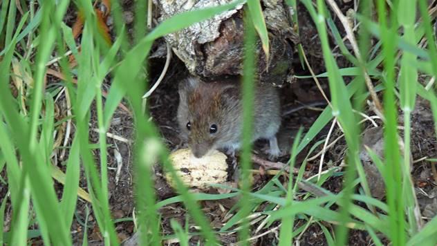 Poljski miš sa pronađenim plenom