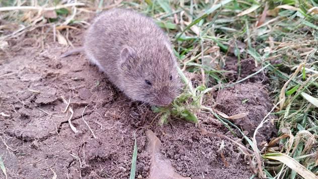 Poljski miš - © Pixabay
