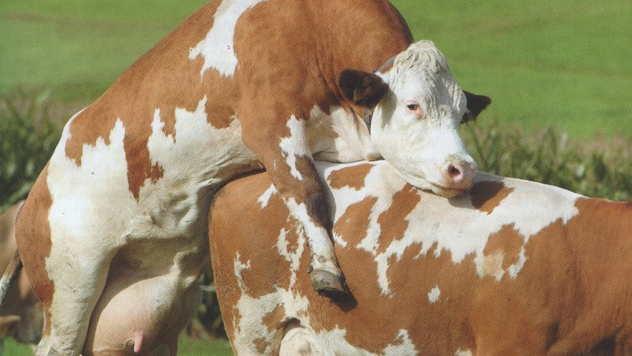 Polni nagon kod krava - © Foto: Igor Prka