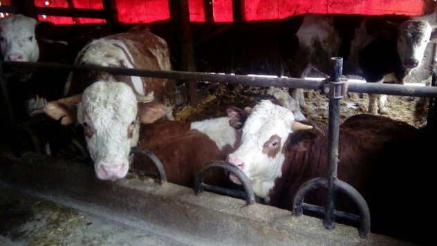 Telad i bikovi u štali na farmi Rankovića  - © Foto: Julijana Minović