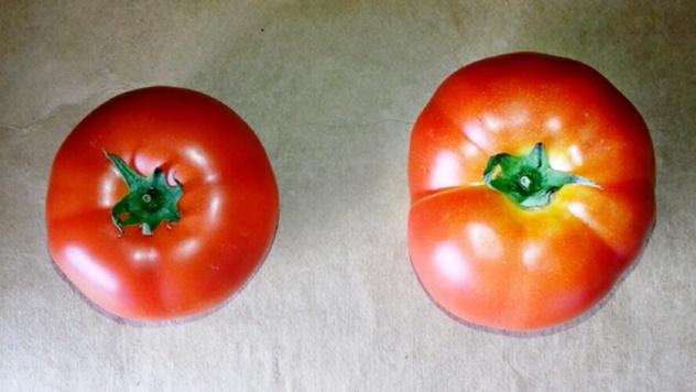 Prepoznaj razliku između veštačkog i organskog paradajza - © Zlatko Stojanović/Agromedia
