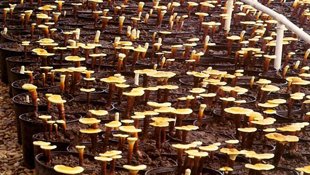 Ganoderma u saksiji © Agromedia