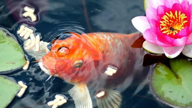 Saveti za početnike: Kako pravilno da hranite akvarijumske ribe - © Agromedia