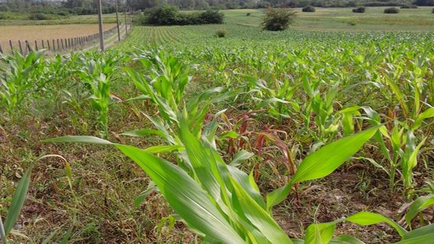 Posejan kukuruz i očekivan rod - © Danijela Jovanović