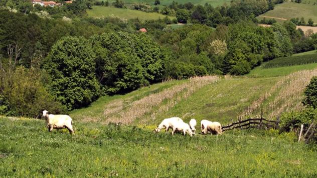 Ovčarstvo u Peckoj - © Dejan Davidović/Agromedia