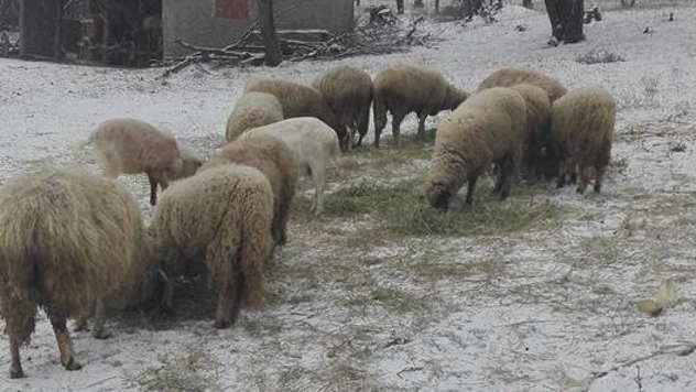 Ovce ispred tora - © Foto: Đorđe Pajkić
