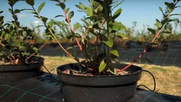 Kakav kvalitet vode i ishranu traže borovnice - © Agromedia