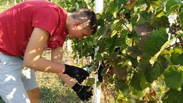 Резултат слика за vinar vinogradar