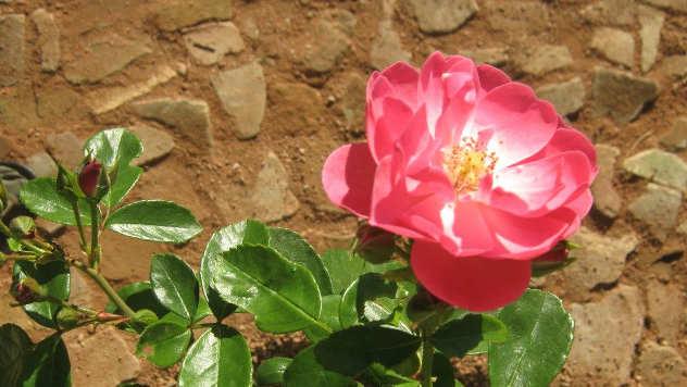 Udružena sadanja biljaka: ruže - © Pixabay
