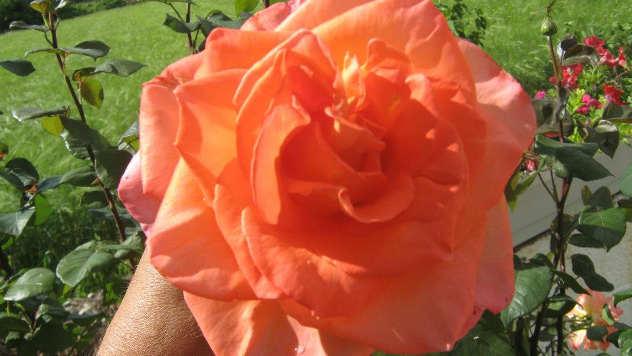 Ruža u vrtu © Agromedia