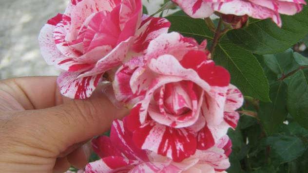 Šatirana ruža © Agromedia