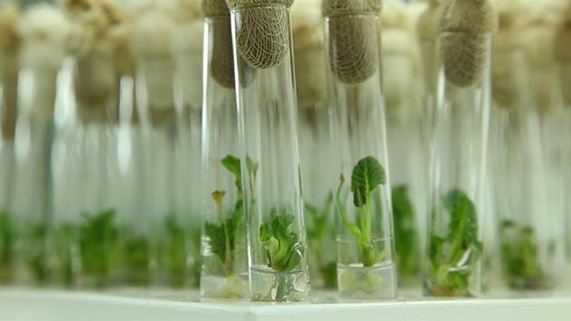 Mlade biljke u epruveti