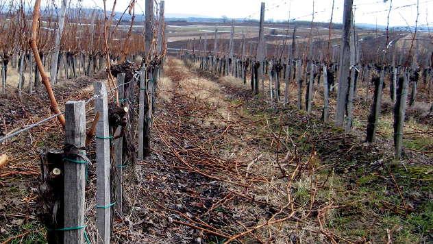 Vinograd u februaru - © Foto: Biljana Nenković