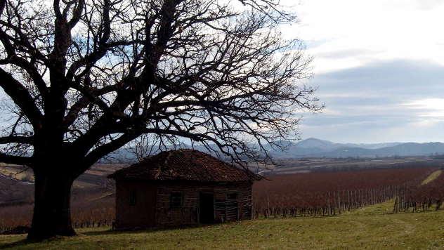 Vinogradi u Šumadiji - © Foto: Biljana Nenković