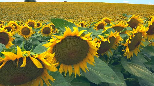 Polje suncokreta - © Syngenta