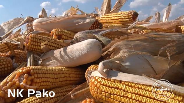 Hibrid kukuruza Pako - © Syngenta