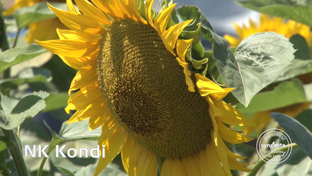 Suncokreti - ©Agromedia