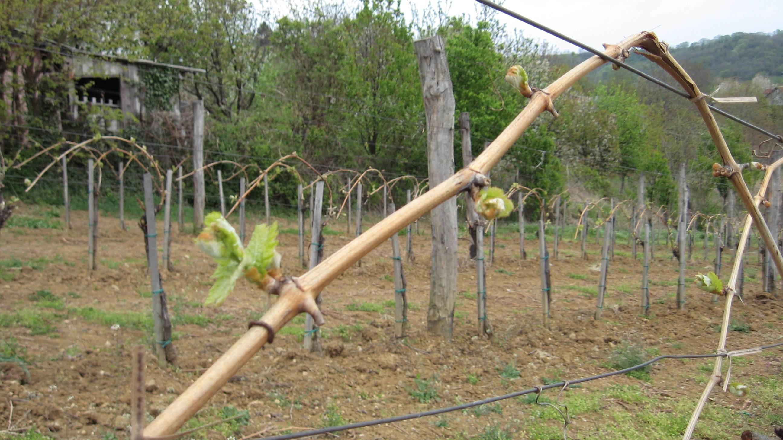 Fruška gora je idealna za gajenje vinove loze - © Ljiljana Pavlović