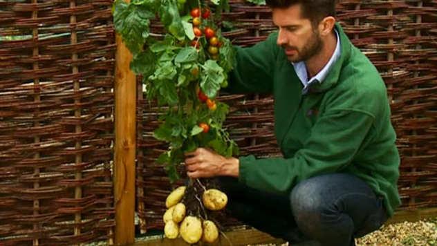 Hibridna biljka - plodovi paradajza na stablu a krtole krompira na korenu - © Foto: www.rt.com