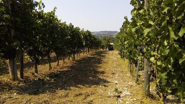 Vinogradi - © Dejan Davidović