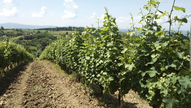 Valjevsko vinogorje - © Dejan Davidović/Agromedia