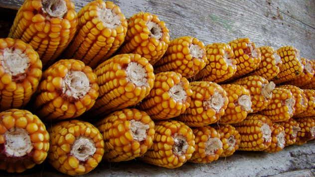 ZP hibridi kukuruza - ©Agromedia