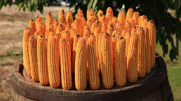 ZP klipovi kukuruza - ©Agromedia