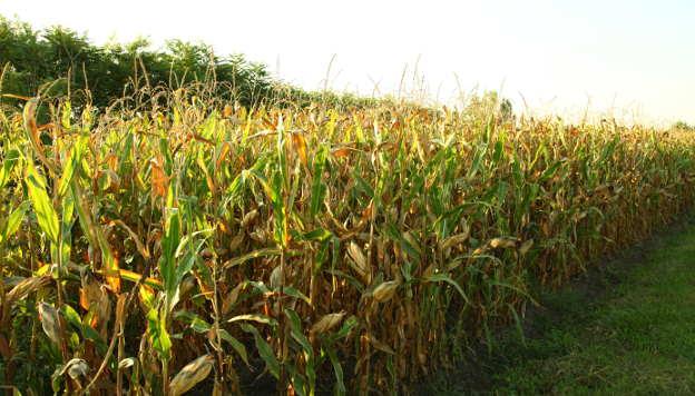 Kukuruz u polju - ©Agromedia