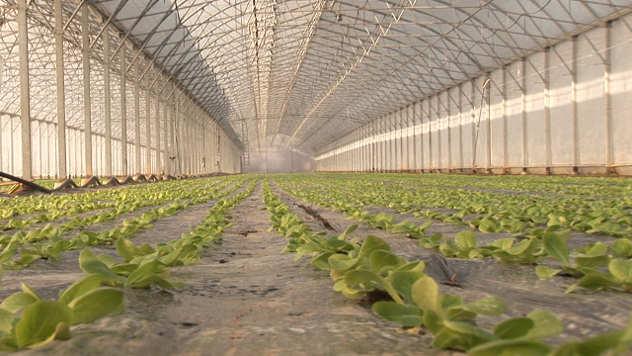 Zelena salata u plasteniku - ©Agromedia