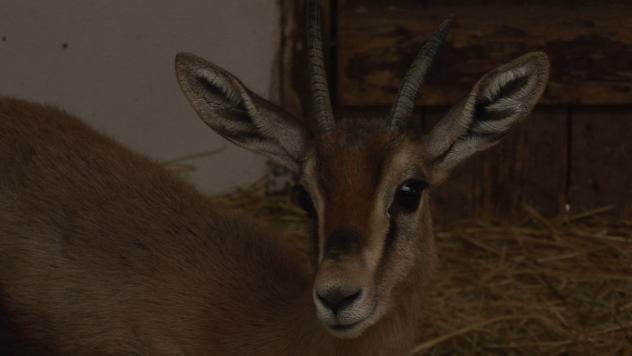 Antilopa u Zoo vrtu - ©Agromedia