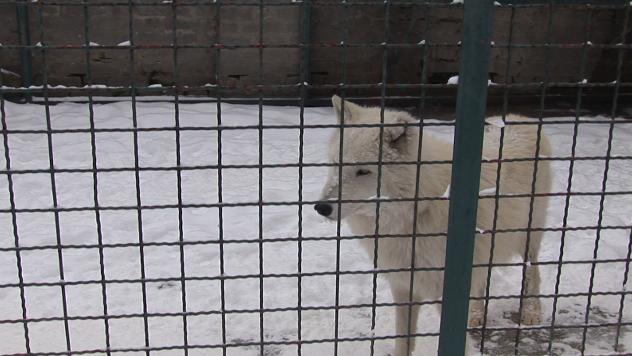 Vuk u Zoo vrtu - ©Agromedia