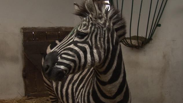 Zebra u Zoo vrtu - ©Agromedia