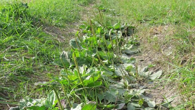 Bokvica: Zaboravljena lekovita biljka koju srećete svaki dan - © Pixabay