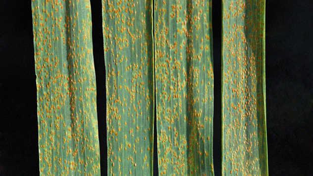 Lisna rđa pšenice - ©Pixabay