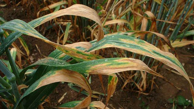 Siva pegavost pšenice - ©Pixabay