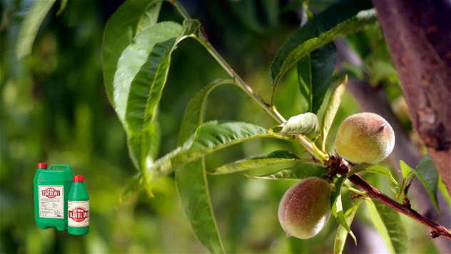 Mladi plodovi breskve- © Agrounik
