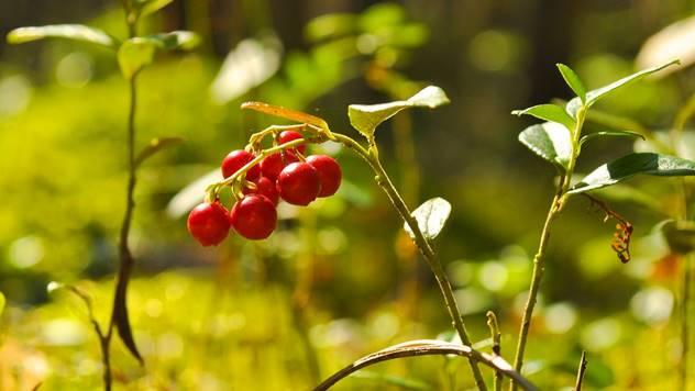 Brusnica u prirodi - © Pixabay