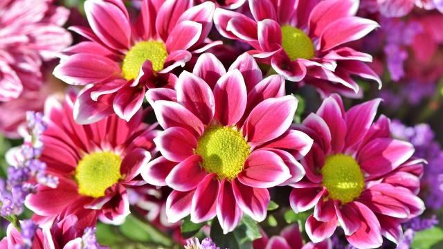 Kako se neguje lepa kata: Jesenja zvezda svakog vrta- © Pixabay