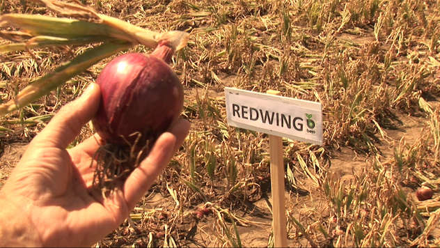 Dan polja luka kompanije Arum - luk Redwing - foto: @Agromedia